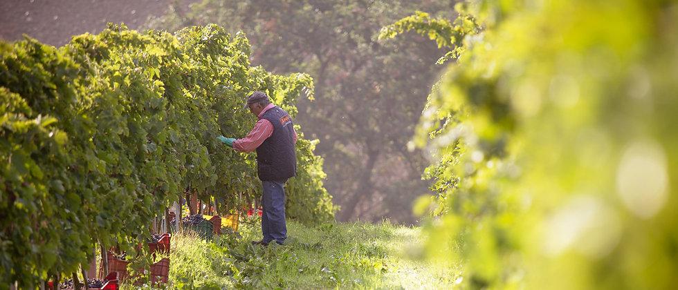 La raccolta delle uve Anfra