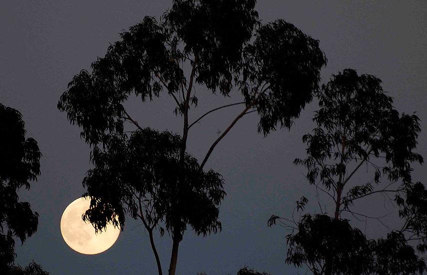 Tree moon | Luca Cortese