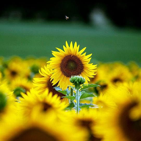 L'ape e il Girasole  | Isabella Balena