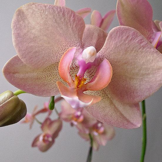 From the garden: Orchidea 1 e 4 | Gianni Maffi
