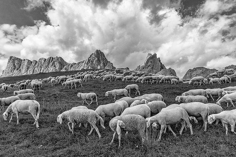 Gregge | Gianni Maffi