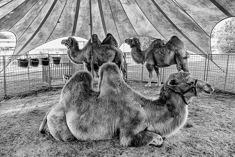 Cammelli in tenda | Gianni Maffi