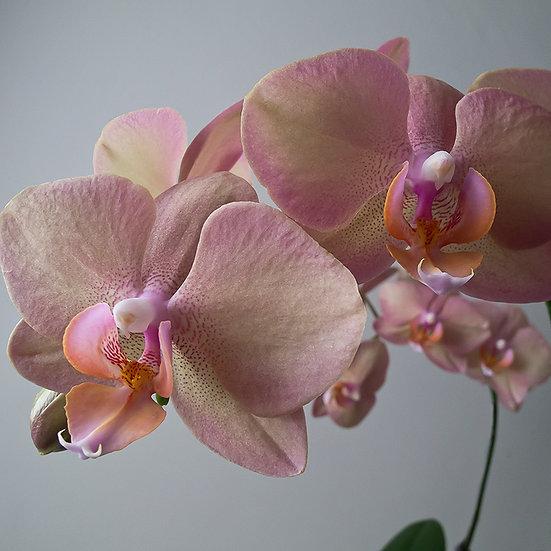 From the garden: Orchidea 2, 3, 4 | Gianni Maffi
