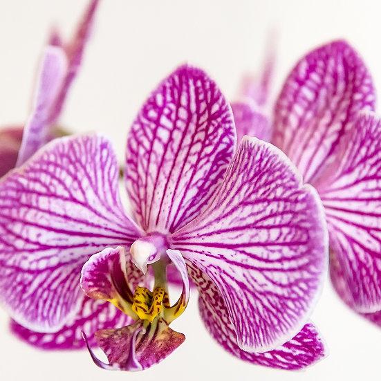 From the garden: Poker di orchidee 2, 4, 7, 8   Gianni Maffi