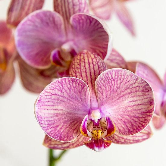 From the garden: Orchidea 6 e 7   Gianni Maffi