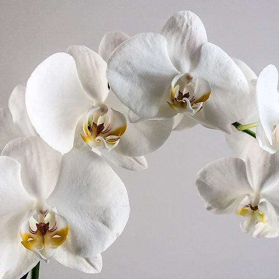 From the garden: Orchidea 1, 2, 3 | Gianni Maffi