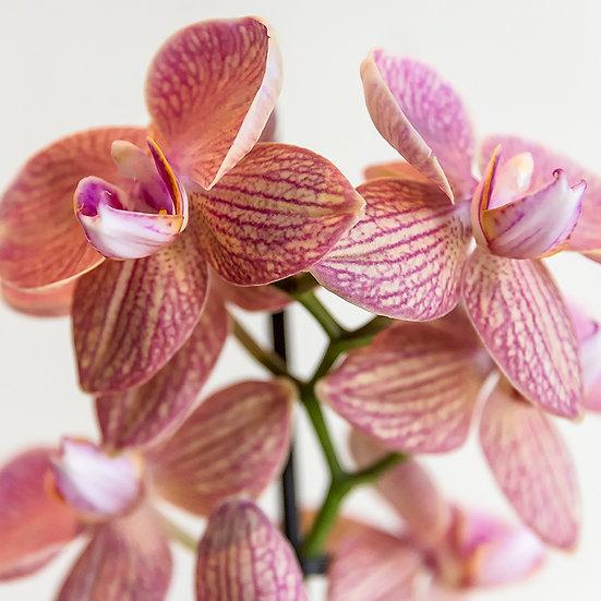 From the garden: Poker di orchidee 5, 6, 7, 8 | Gianni Maffi