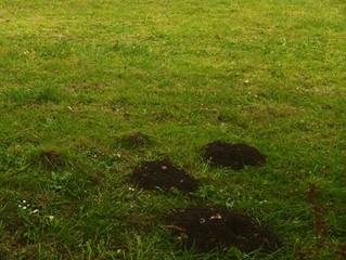 Get your garden free of moles for summer!