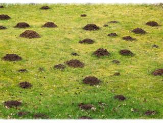 Mole Hills in your garden