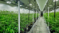 Marijuana cultivation room.jpg
