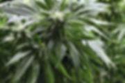 Cannabis 1.jpg