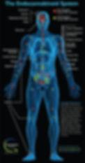 Endocannabinoid System 1.jpg
