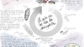 La drosophile : une mouche qui fait fureur au laboratoire