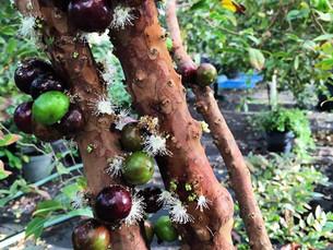 The Brazilian Tree Grape (Jaboticaba)