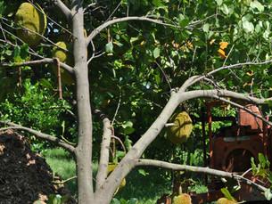 Jackfruit: Artocarpus heterophyllus