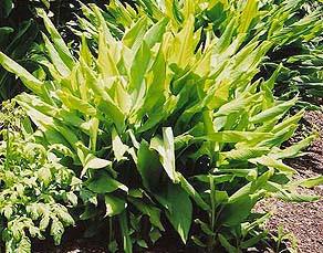 Turmeric: Curcuma longa