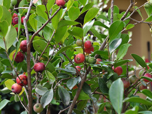 Cattley Guavas: Beautiful Plant with Tasty Fruit