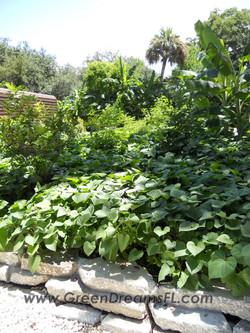 urbanite garden bed sweet potato cover crop organic garden tampa bay