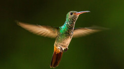 #Rufus tailed hummingbird