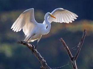 #Snowy Egret.jpg