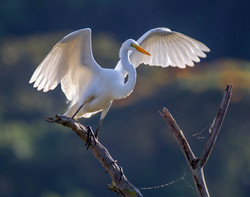 #Snowy Egret
