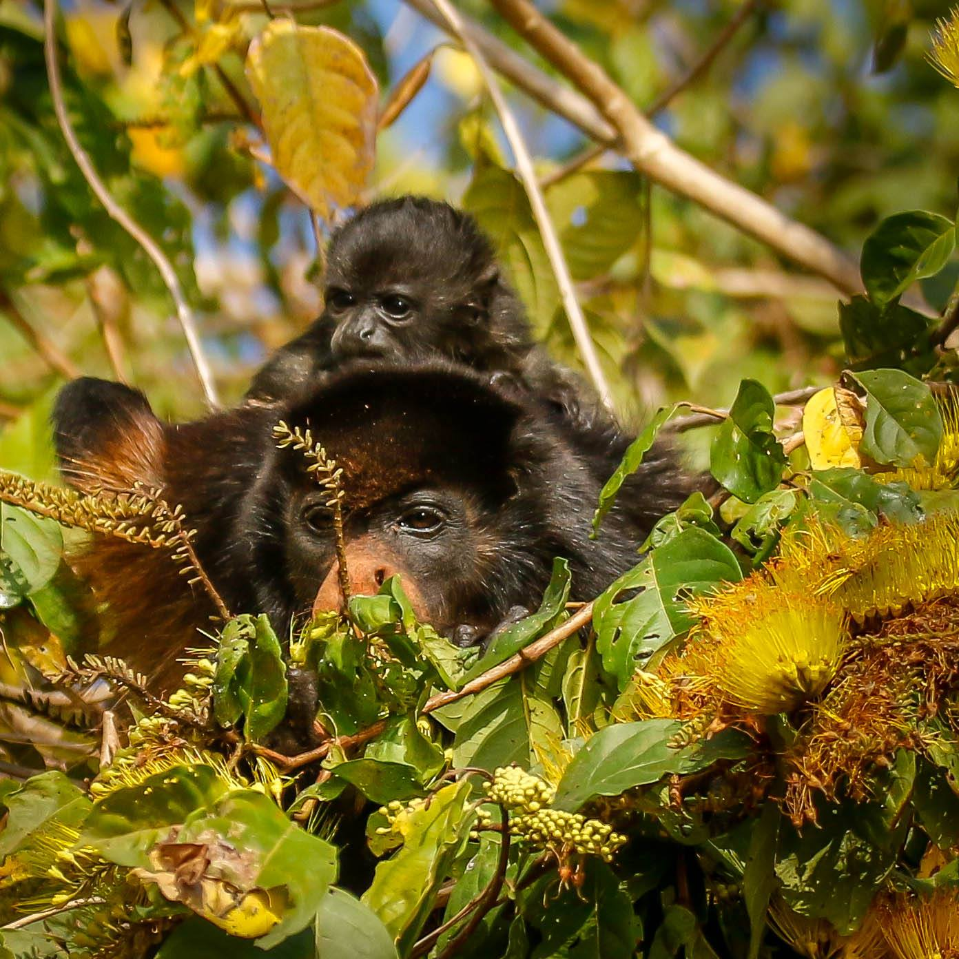#Howler monkey and baby