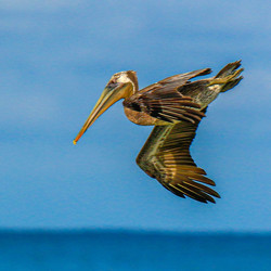 #Brown Pelican