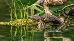 #Baby American Croc