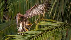 #Snail Kite landing