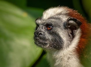 Tamarin Monkey FB.jpg