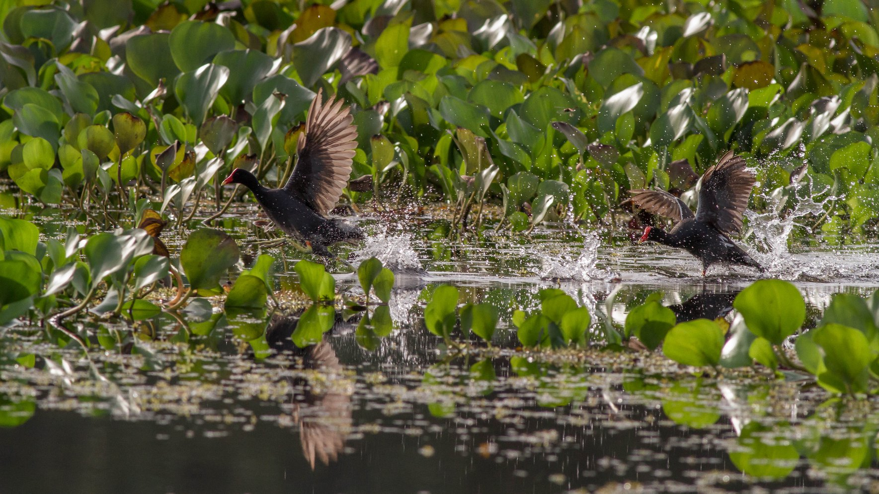 #Common Gallinule