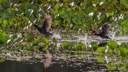 #Common Gallinule