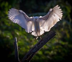 #Snowy Egret landing