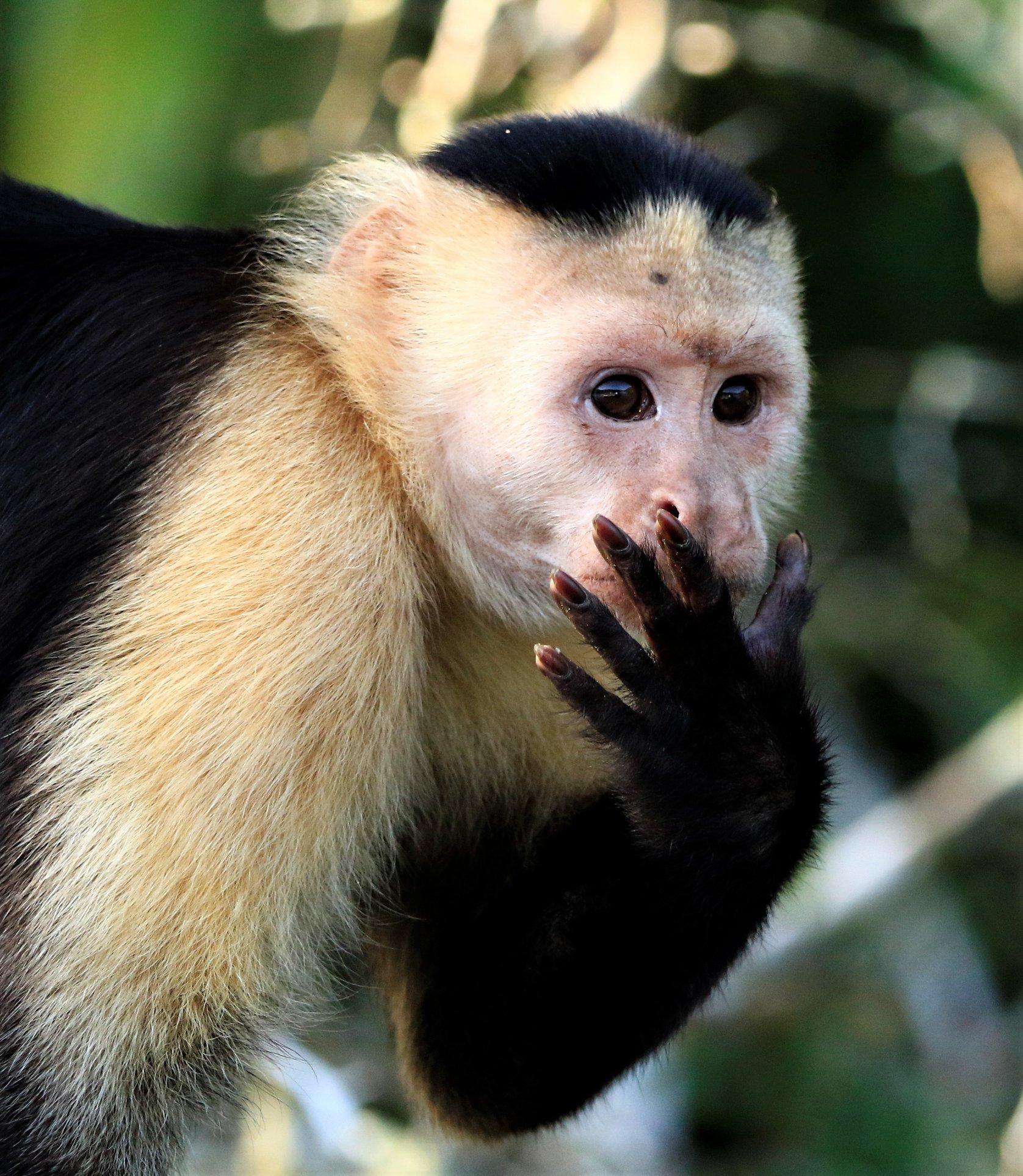 #Capuchin