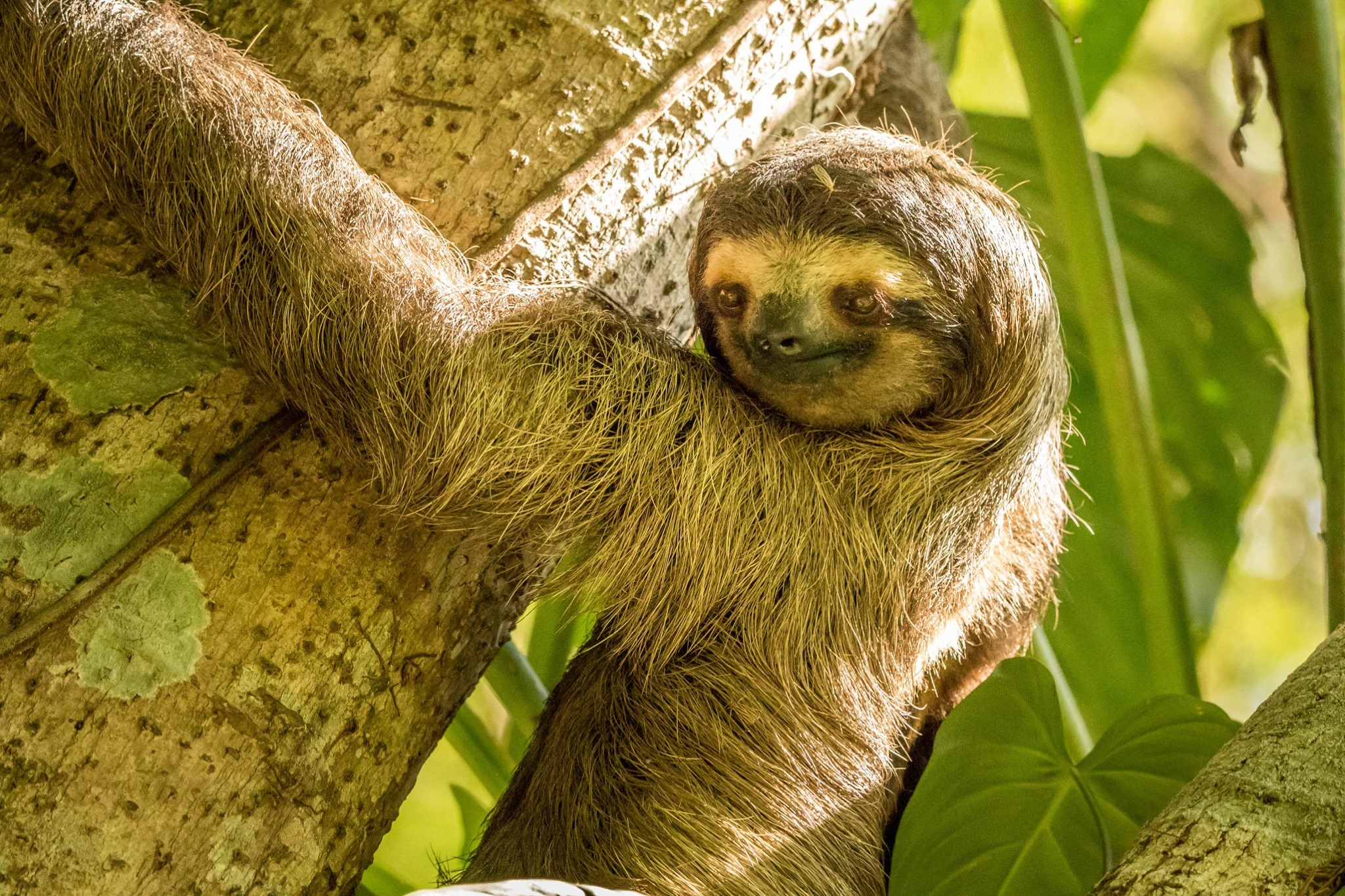 #Two toed Sloth