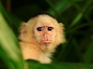 Capuchin Monkey FB.jpg