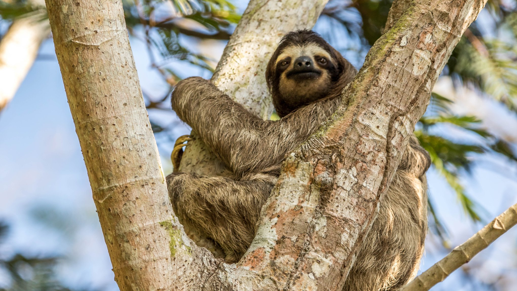 #Sloth two toed