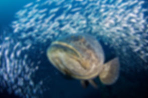 Goliath-Grouper-Boynton-Mike-Scott-Photo