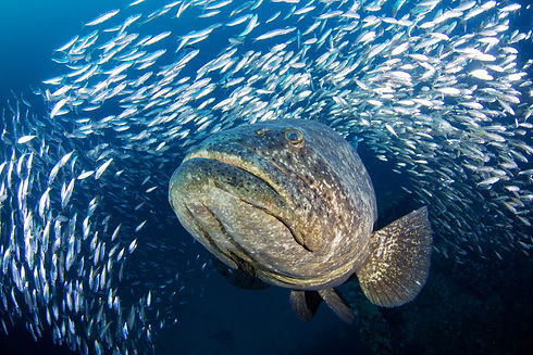 Goliath-Grouper-Boynton-Mike-Scott-Photo