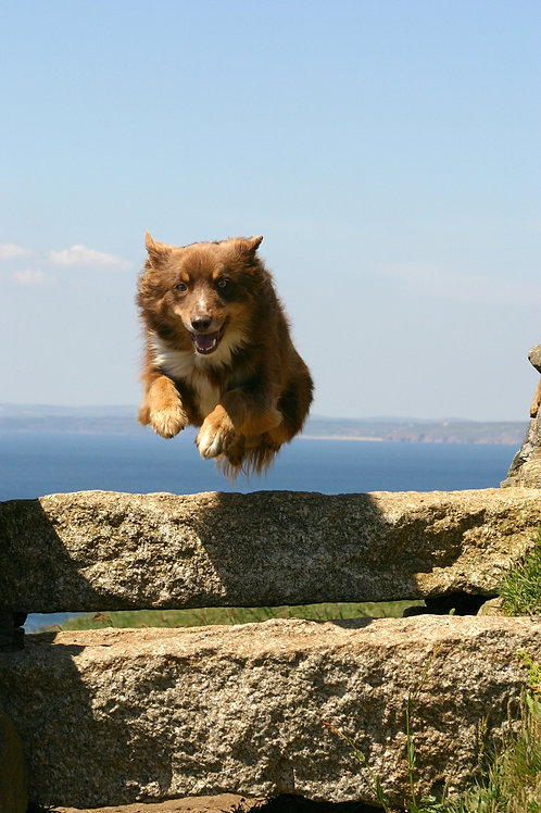 A Collie In Cornwall