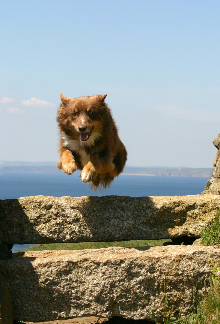 Collie, Cornwall © Andrea Oakes