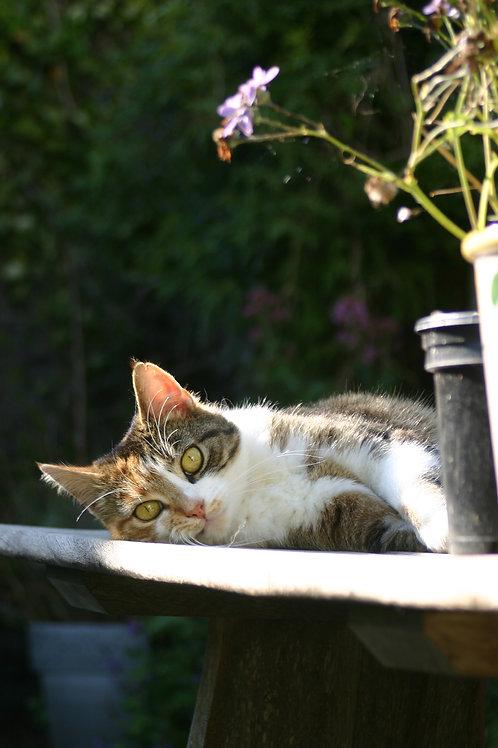 The Cornish Cat
