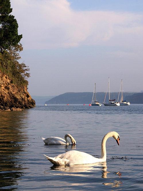 Swans Sailing Past - Durgan, Cornwall