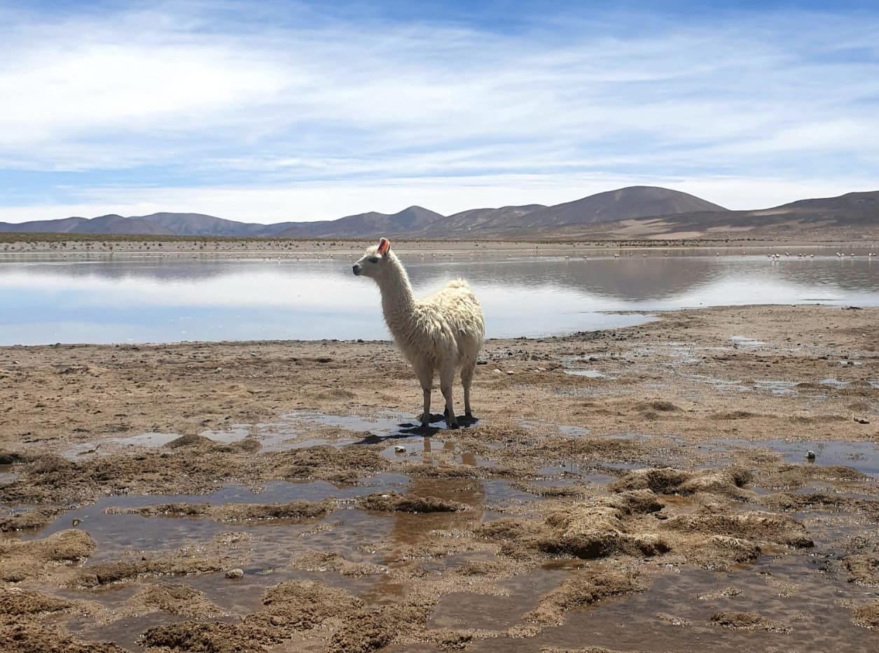 Lama (Serge) bolivien