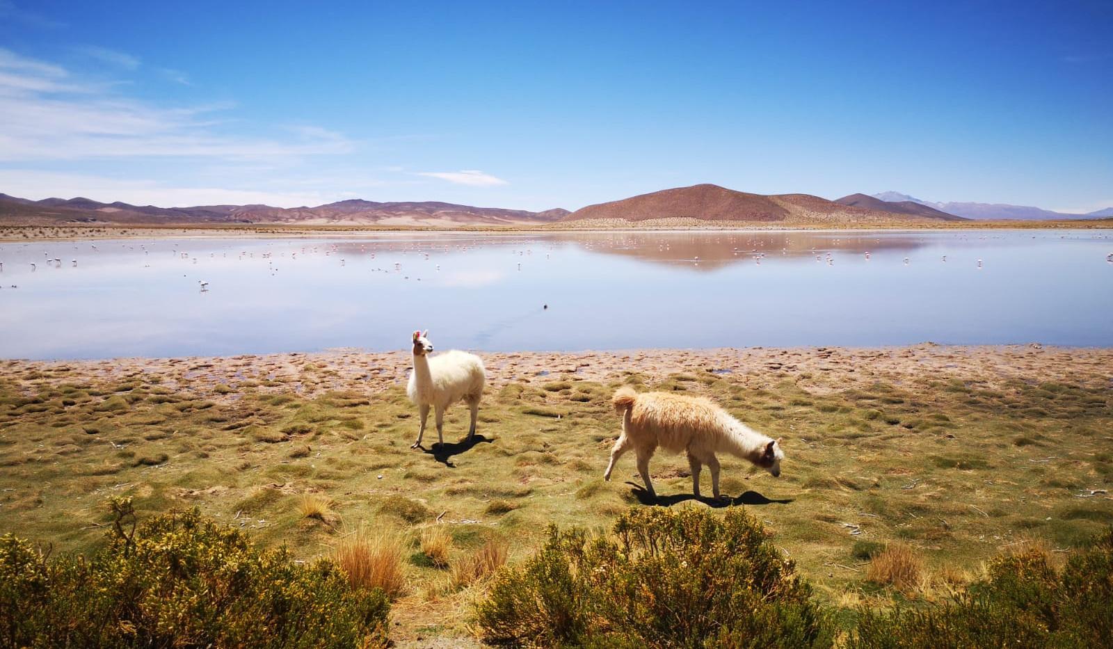 (Serge et Bernard) Lamas boliviens