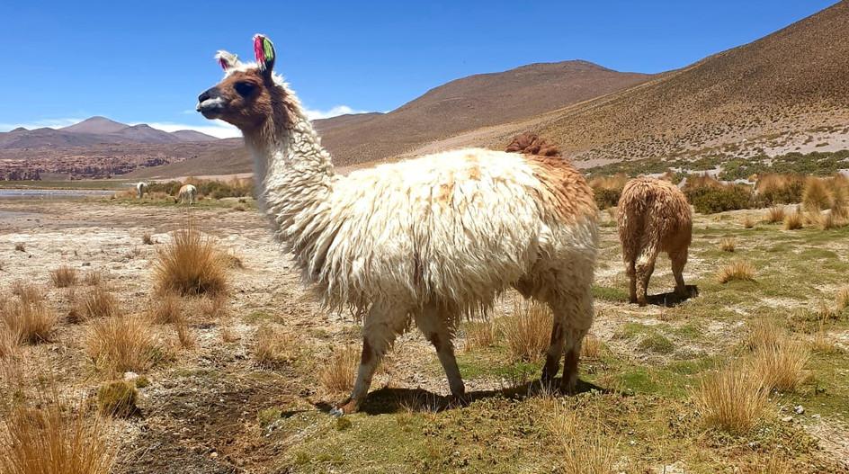 (Bernard) Lama bolivien