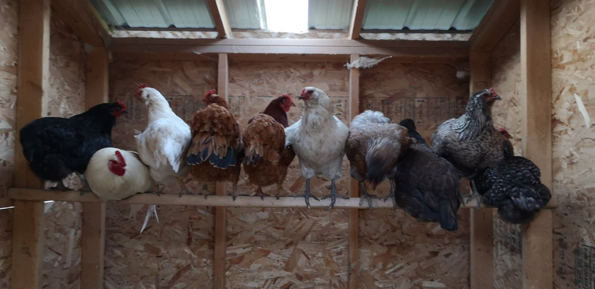 Les poules de Jackie