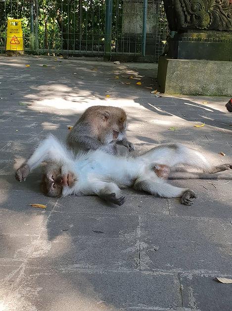 Singes de la Monkey Forest de Ubud - Contrées Lointaines