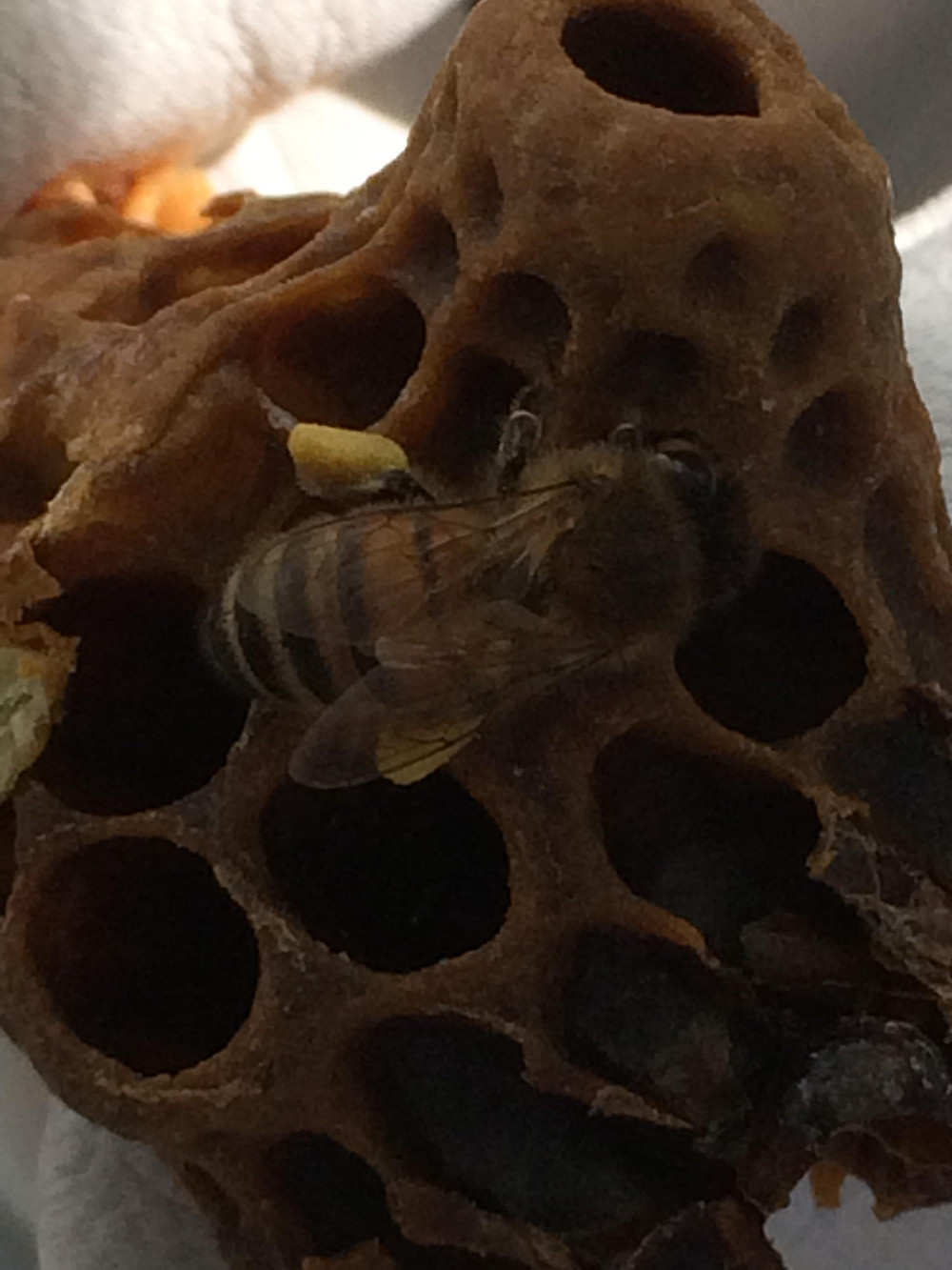 Honey Bee Close up with full pollen sacks