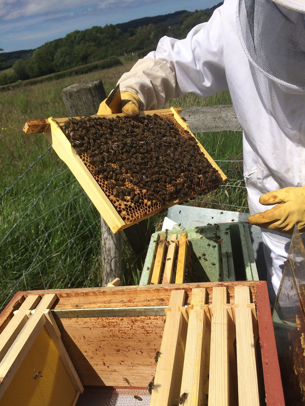 Transferring Bees from Nuc to Hive